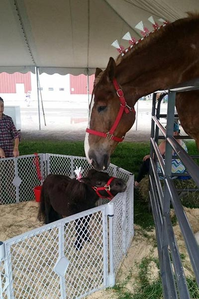 2017: Big Jake with a miniature horse named Bear at Jefferson County fair in Wisconsin