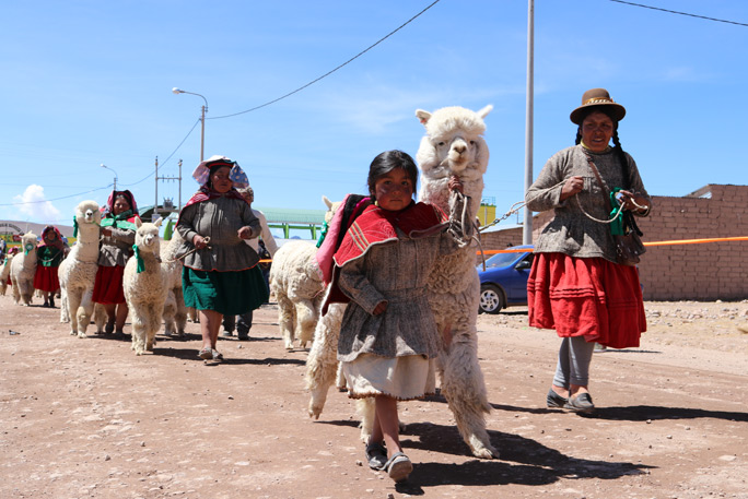 Largest parade of alpacas 4