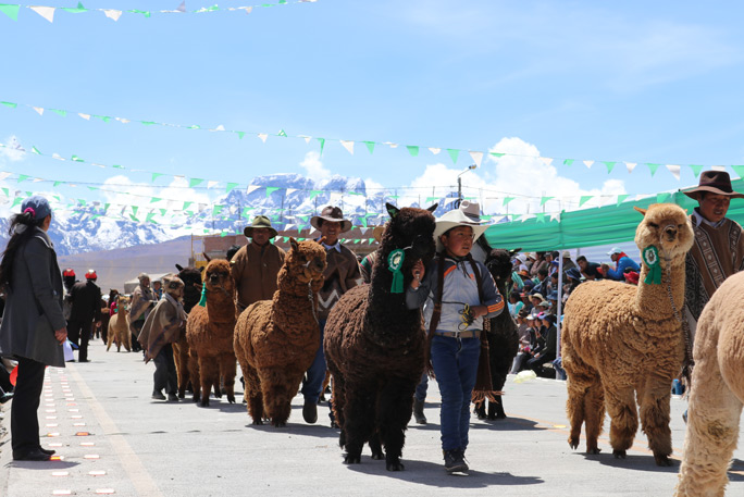 Largest parade of alpacas 7